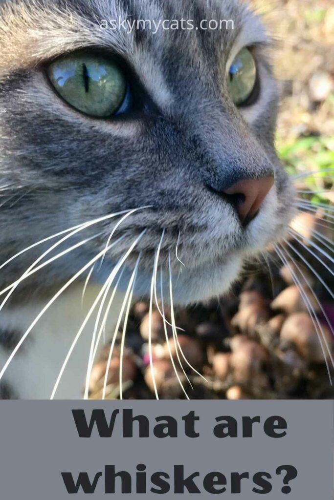 what are whiskers?