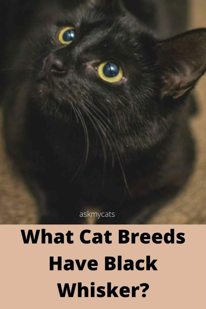 What cat breeds have black whiskers?