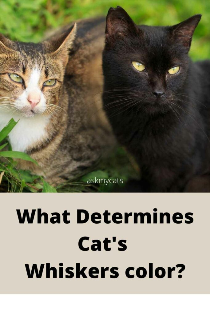 What determines cat's whiskers color?