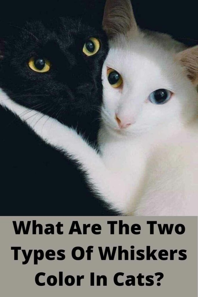 what are the two types of whiskers color in cats?