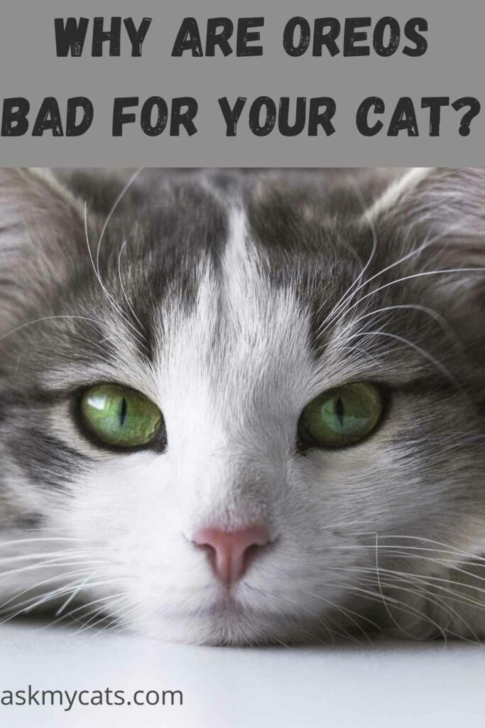 why are Oreos bad for your cat