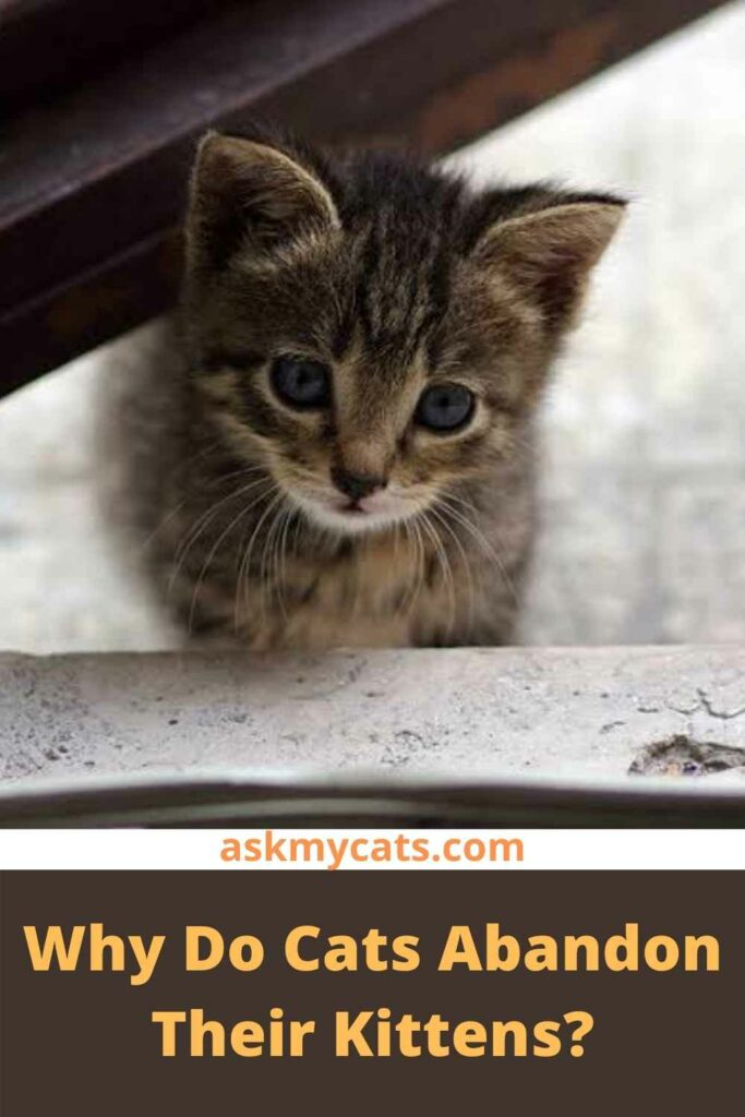 Why Do Cats Abandon Their Kittens?