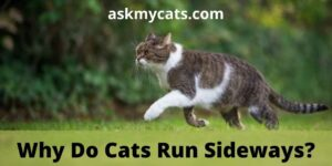 Why Do Cats Run Sideways? Is There Any Specific Reason?