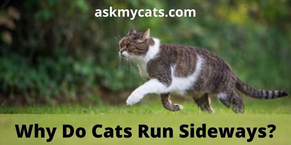 Why Do Cats Run Sideways?