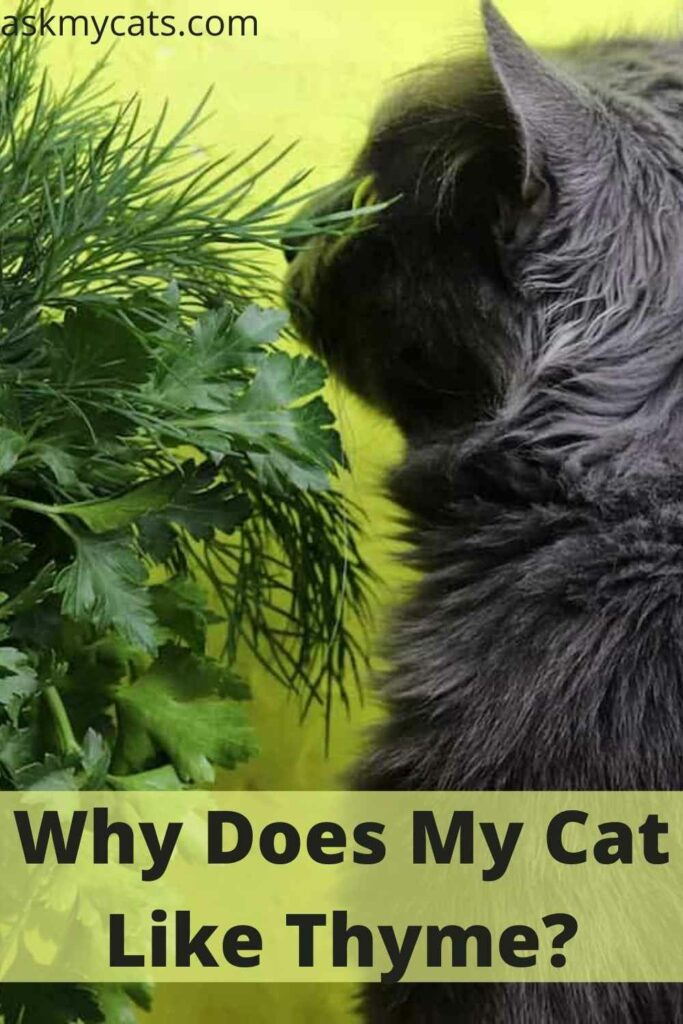 Why Does My Cat Like Thyme?