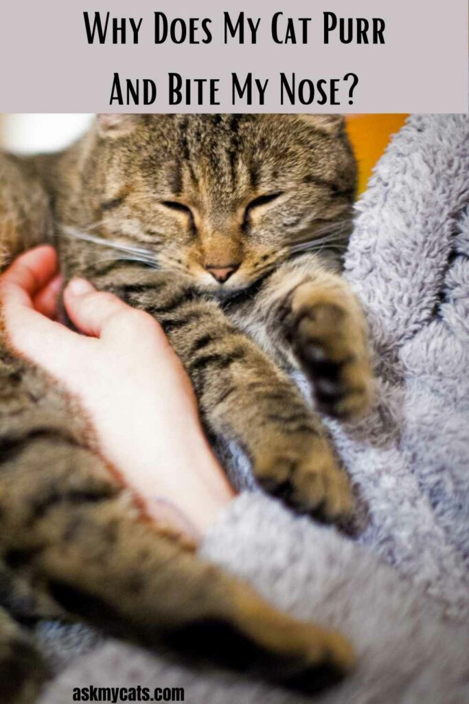 Why Does My Cat Purr And Bite My Nose?