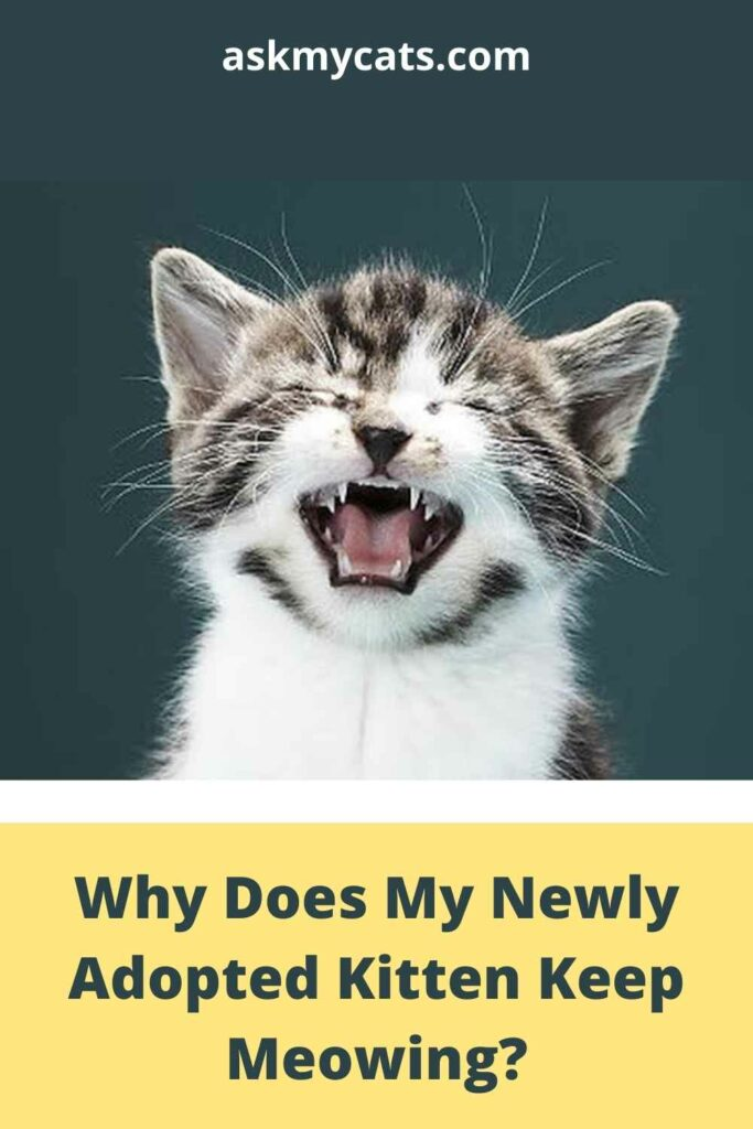 Why Does My Newly Adopted Kitten Keep Meowing?