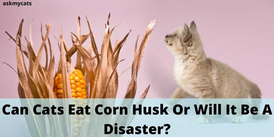 Can Cats Eat Corn Husk Or Will It Be A Disaster?