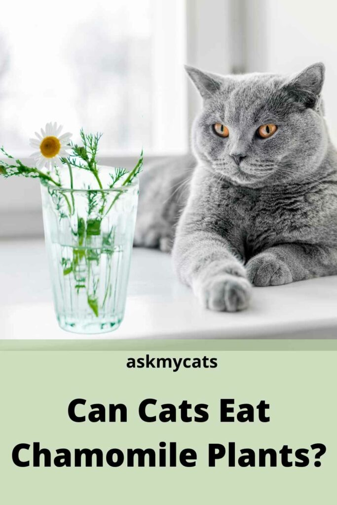 can cats eat chamomile plants