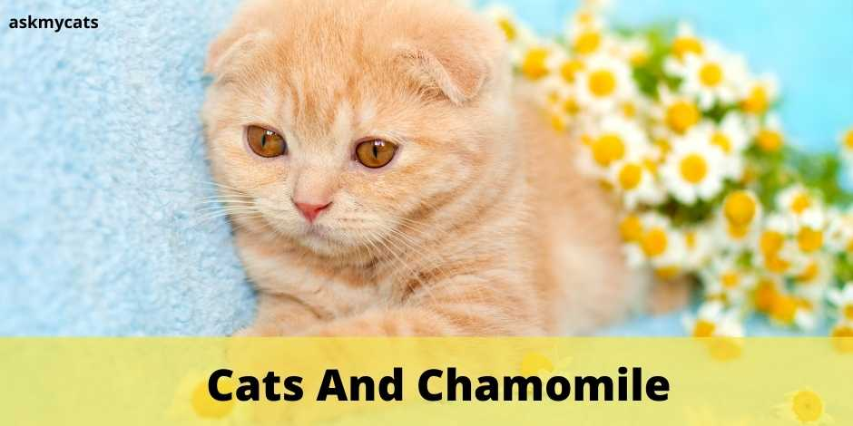 Cats And Chamomile. Here's What You Should Know About Chamomile Before Serving It To Your Cat!