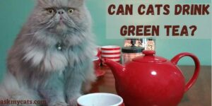 Can Cats Drink Green Tea? Is Green Tea Safe For Cats?