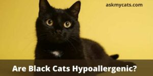 Are Black Cats Hypoallergenic? Do Black Cats Cause More Allergies?