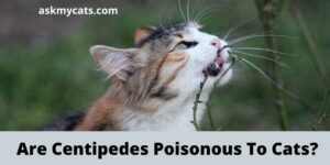 Can Cats Eat Centipedes? Are Centipedes Poisonous To Cats?