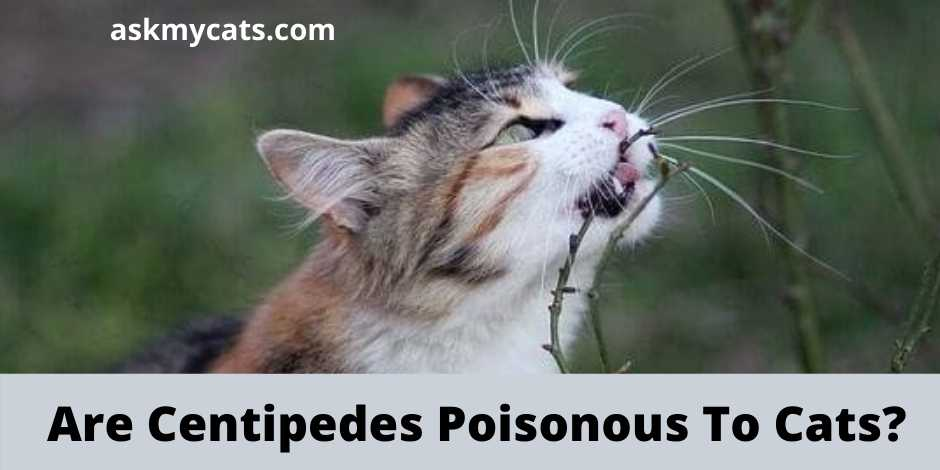 Are Centipedes Poisonous To Cats?