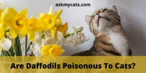 Are Daffodils Poisonous To Cats? What Do I Do If My Cat Eats A Daffodil?
