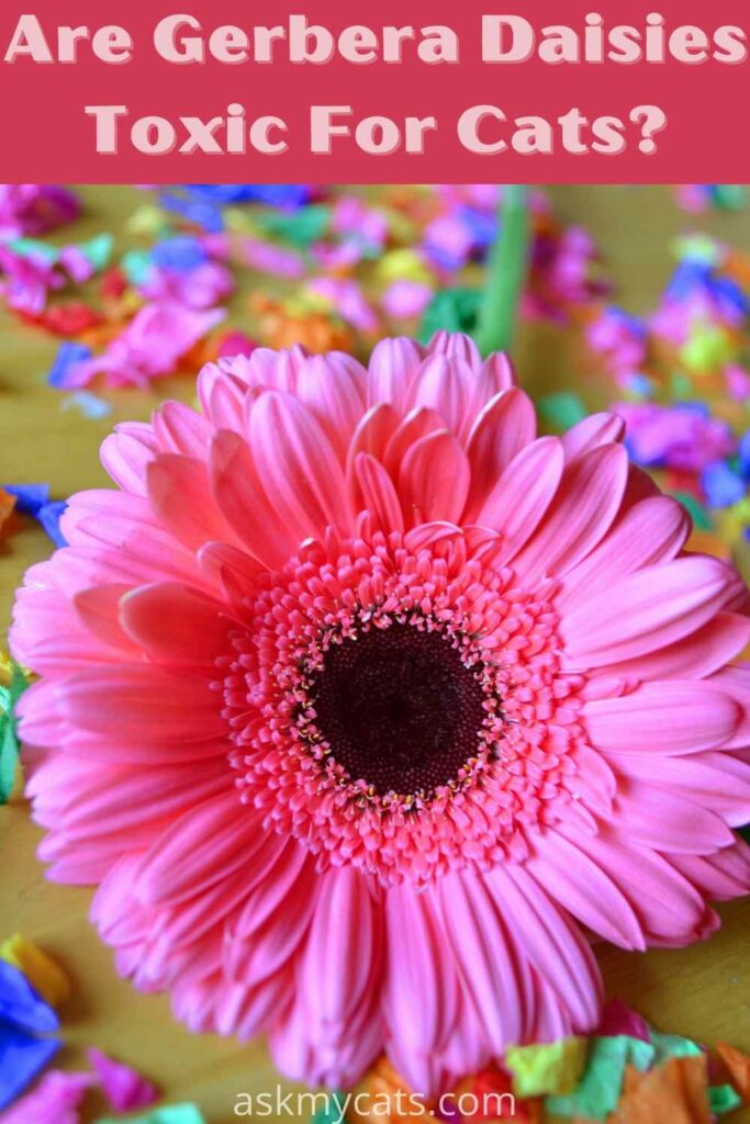 are gerbera daisies toxic for cats?