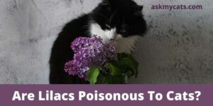 Are Lilacs Poisonous To Cats? Can Lilacs Kill Cats?
