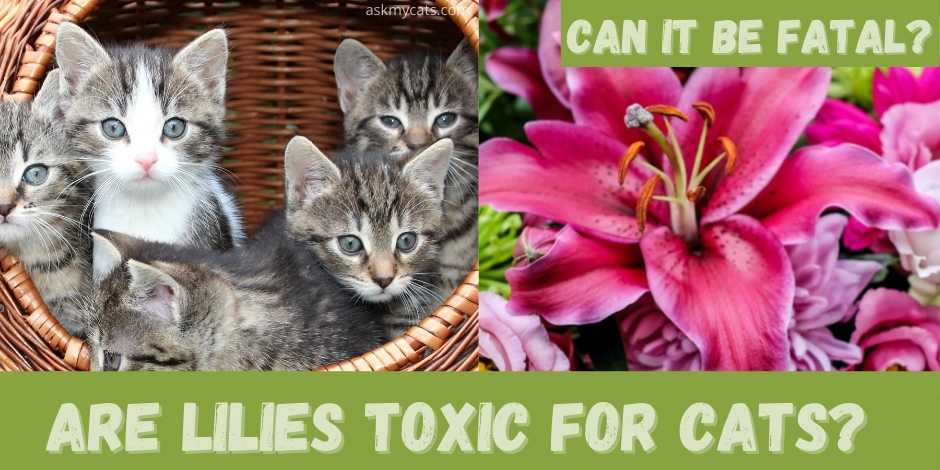 are lilies toxic for cats? can it be fatal?