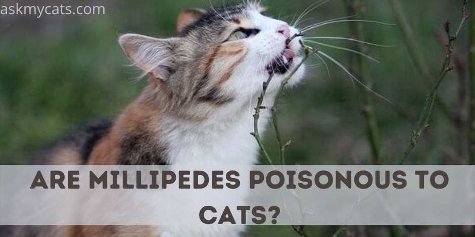 Are Millipedes Poisonous To Cats?
