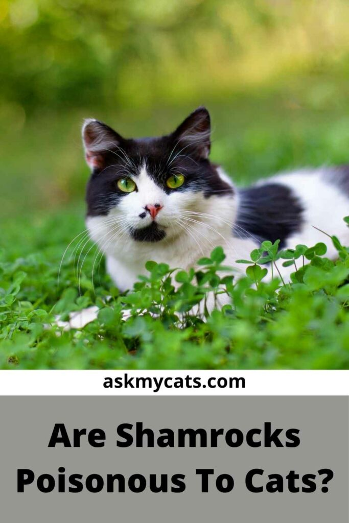 Are Shamrocks Poisonous To Cats?