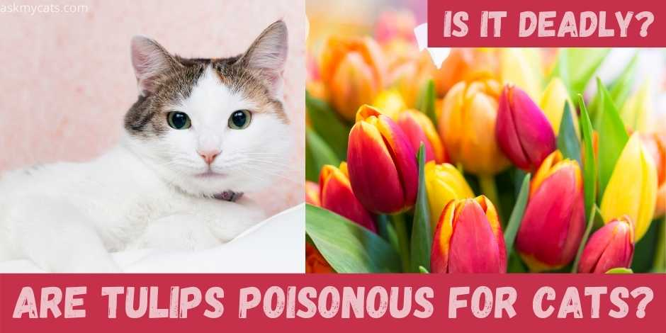 are tulips poisonous for cats?