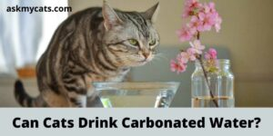 Can Cats Drink Carbonated Water?