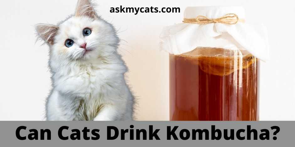 Can Cats Drink Kombucha?