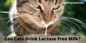 Can Cats Drink Lactose Free Milk? Can Cats Digest Lactose-Free Milk?