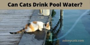 Can Cats Drink Pool Water? How Can I Keep My Cat Safe Around A Pool?