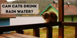 Can Cats Drink Rain Water? Why On Earth Would He Do That?