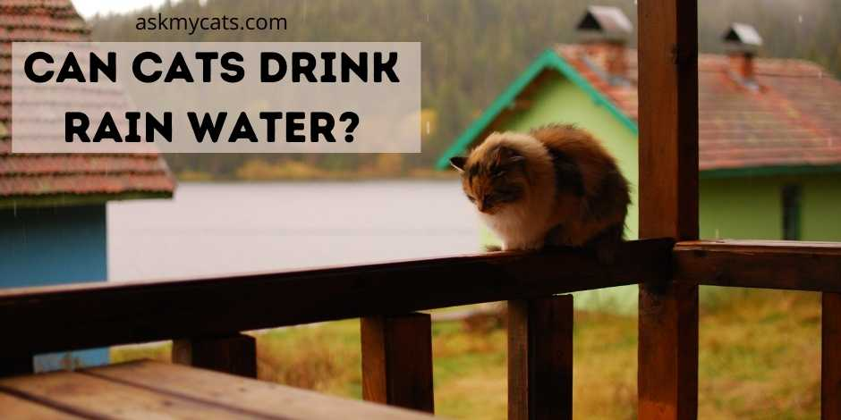 Can Cats Drink Rain Water