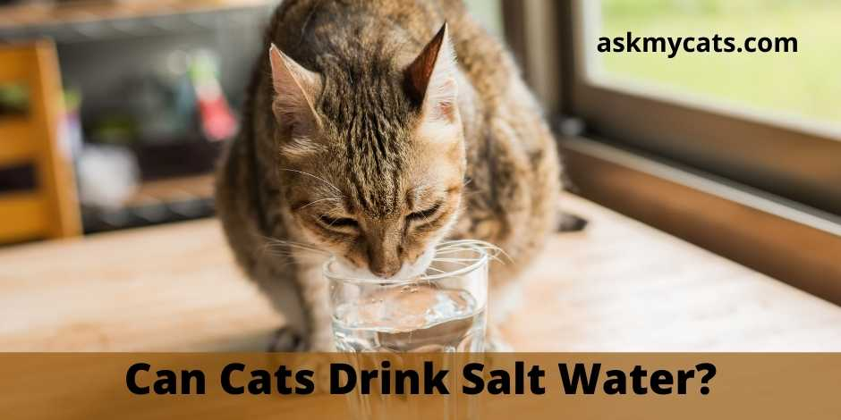Can Cats Drink Salt Water?