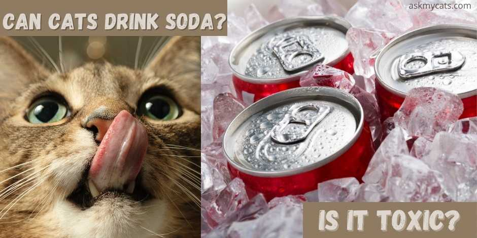 can cats drink soda? is it toxic?