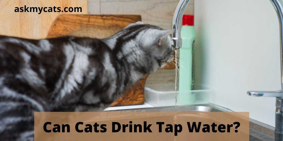 Can Cats Drink Tap Water?
