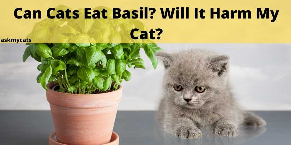Can Cats Eat Basil? Will It Harm My Cat?