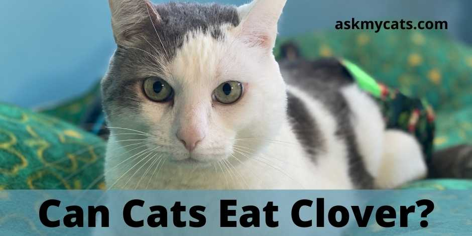 Can Cats Eat Clover?