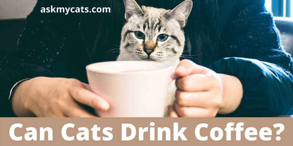 Can Cats Drink Coffee?