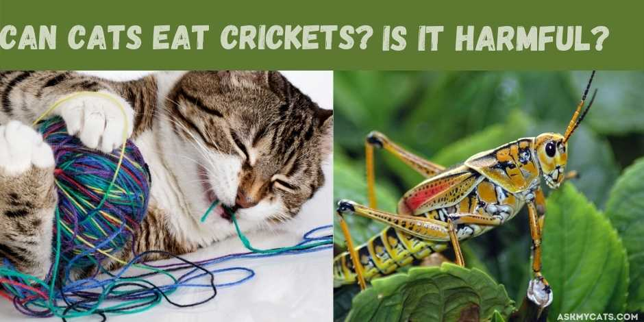 can cats eat crickets? is it harmful?