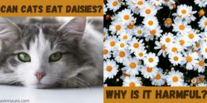 Can Cats Eat Daisies? Can Daisies Make Cat Sick?