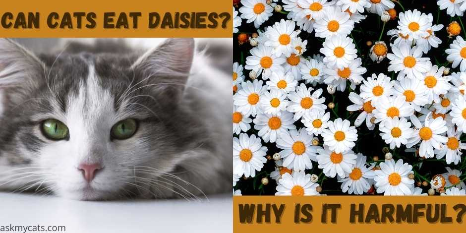 can cats eat daisies?