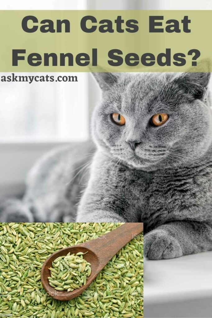 Can Cats Eat Fennel Seeds?