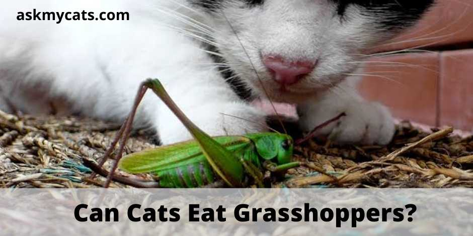 Can Cats Eat Grasshoppers?