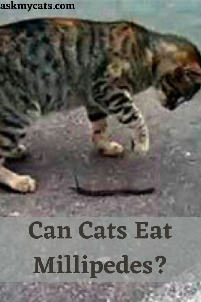 Can Cats Eat Millipedes?