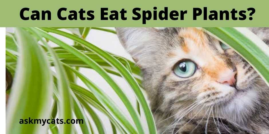 Can Cats Eat Spider Plants?