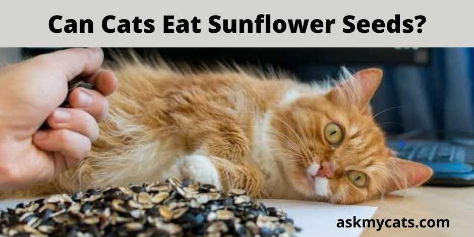 Can Cats Eat Sunflower Seeds?