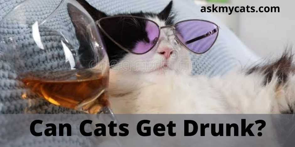 Can Cats Get Drunk?