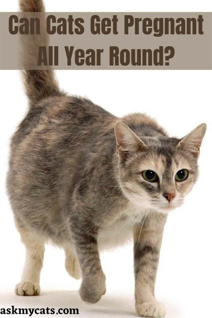 Can Cats Get Pregnant All Year Round?