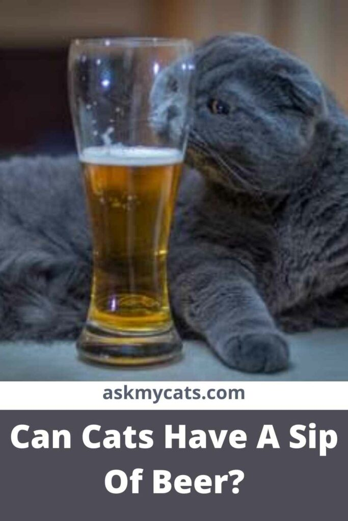 Can Cats Have A Sip Of Beer?