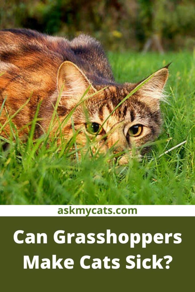 Can Grasshoppers Make Cats Sick?