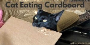 Cat Eating Cardboard: How To Stop A Cat From Eating Cardboard?
